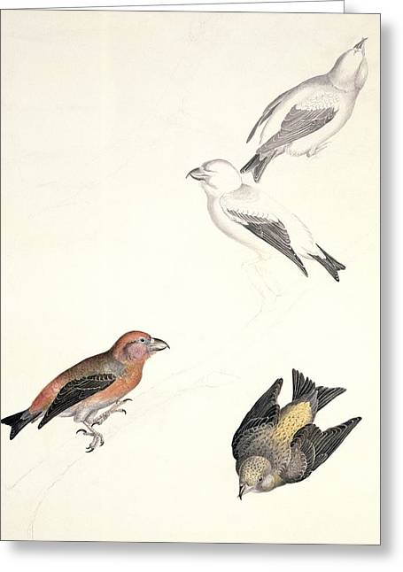 Crossbills, 19th Century Artwork Greeting Card by Science Photo Library