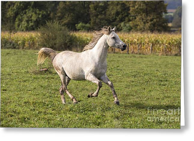 Europe Greeting Cards - Crossbred Arabian Horse Greeting Card by M. Watson