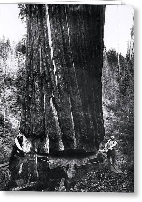 Logger Greeting Cards - CROSSCUT SAWING a GIANT REDWOOD 1893 Greeting Card by Daniel Hagerman
