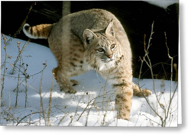 Bobcats Photographs Greeting Cards - Crosssover Steppin Bobcat Greeting Card by Larry Allan