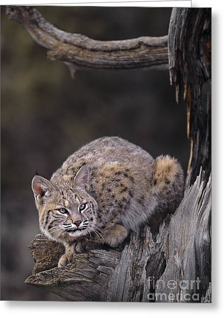 Felis Rufus Greeting Cards - Crouching Bobcat Montana Wildlife Greeting Card by Dave Welling