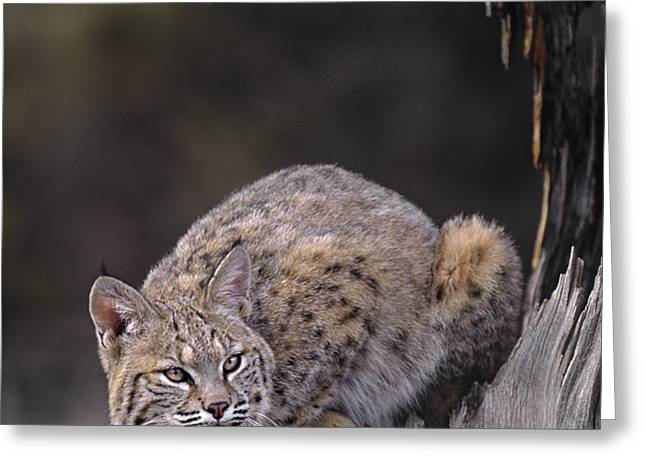 Crouching Bobcat Montana Wildlife Greeting Card by Dave Welling