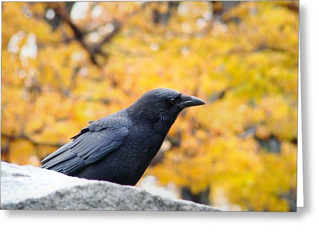 Crows In Autumn Greeting Cards - Crow In Fall Greeting Card by Gothicolors Donna Snyder