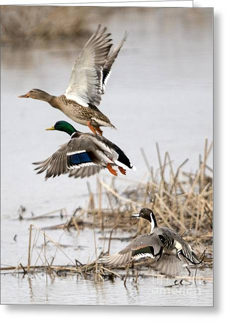 Mallards Greeting Cards - Crowded Flight Pattern Greeting Card by Mike Dawson