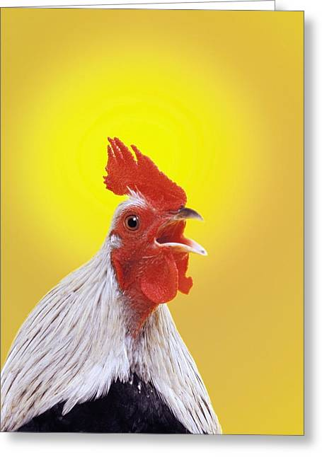 Crowing Roosterbritish Columbia Canada Greeting Card by Thomas Kitchin & Victoria Hurst