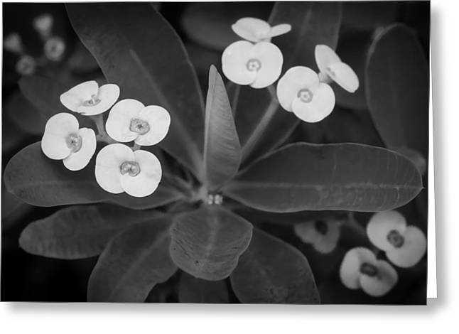 Euphorbia Greeting Cards - Crown of Thorns Christ Plant Christ Thorn Painted BW  Greeting Card by Rich Franco