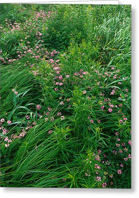 Vetch Greeting Cards - Crown Vetch Flowers, Herrington Manor Greeting Card by Panoramic Images