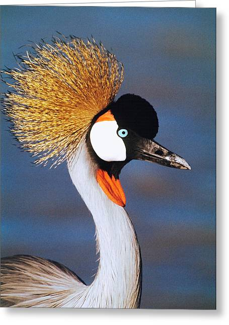 Colorful Photography Greeting Cards - Crowned Crane Tanzania Africa Greeting Card by Panoramic Images
