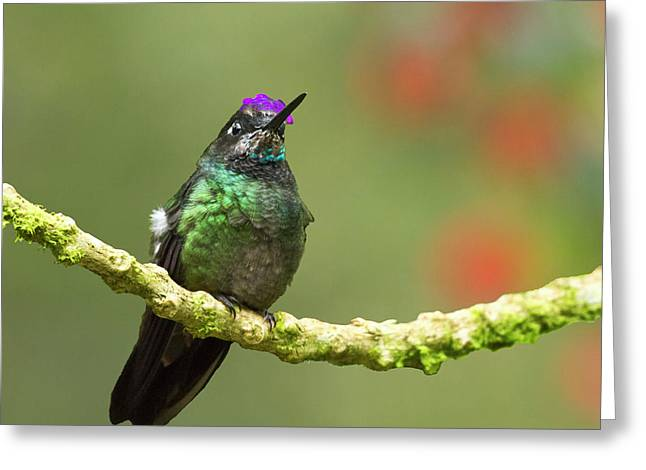 Trochilidae Greeting Cards - Crowned Hummingbird Greeting Card by Heiko Koehrer-Wagner