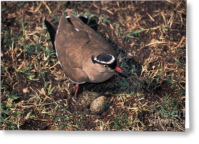 Lapwing Greeting Cards - Crowned-lapwing Tending Nest Greeting Card by Ron Sanford