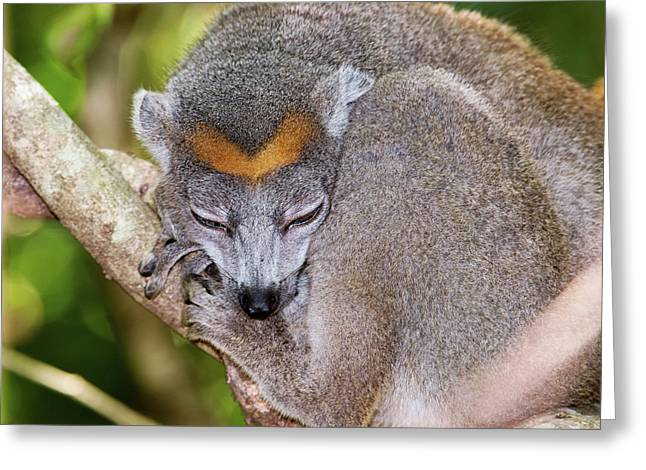 Crowned Lemur Female Greeting Card by Dr P. Marazzi