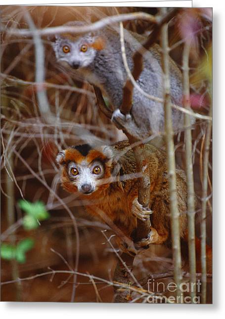 Lemur Greeting Cards - Crowned Lemurs, Madagascar Greeting Card by Art Wolfe