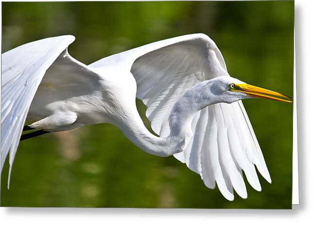 Snowy Egret Greeting Cards - Cruising Egret Greeting Card by Andres Leon