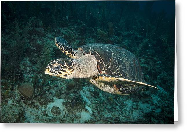 Scuba Diving Greeting Cards - Cruising Turtle Greeting Card by Jean Noren