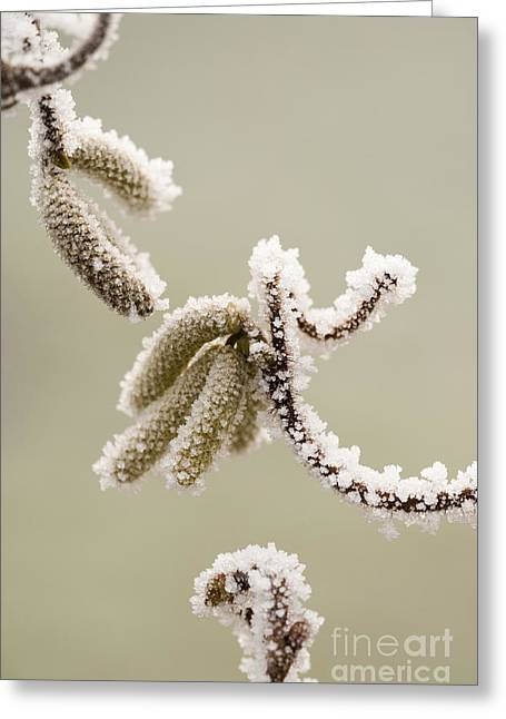 Crunchy Catkins Greeting Card by Anne Gilbert