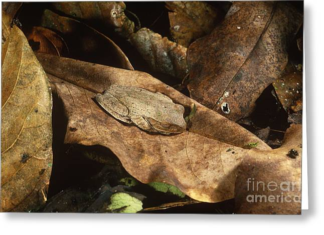 Brown Frog Greeting Cards - Cryptic Frog Greeting Card by Gregory G. Dimijian, M.D.