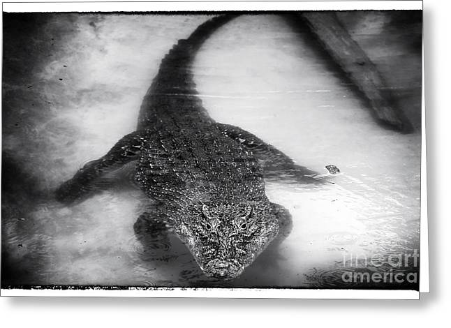 Cuban Crocodile Greeting Card by John Rizzuto