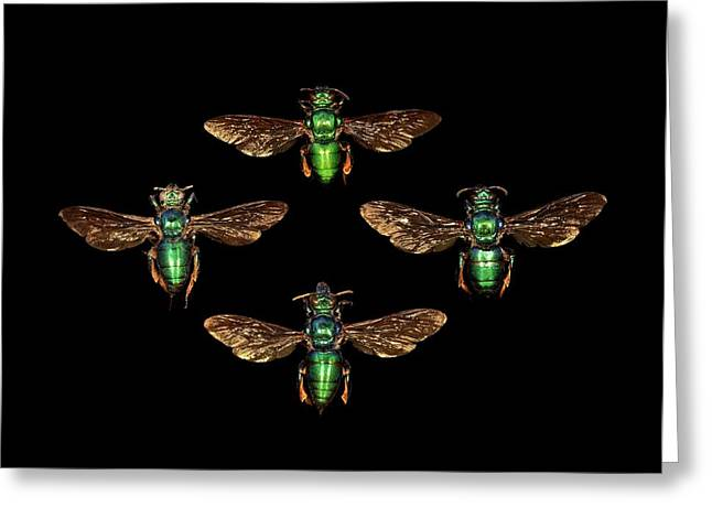 Black Top Greeting Cards - Cuckoo wasps Greeting Card by Science Photo Library