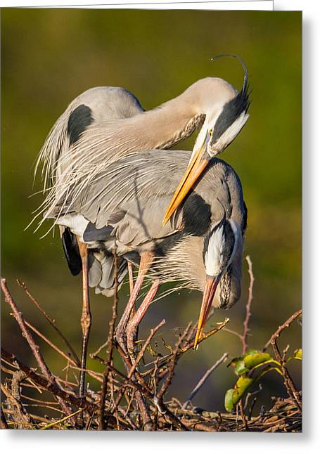 Single Greeting Cards - Cuddling Great Blue Herons Greeting Card by Andres Leon