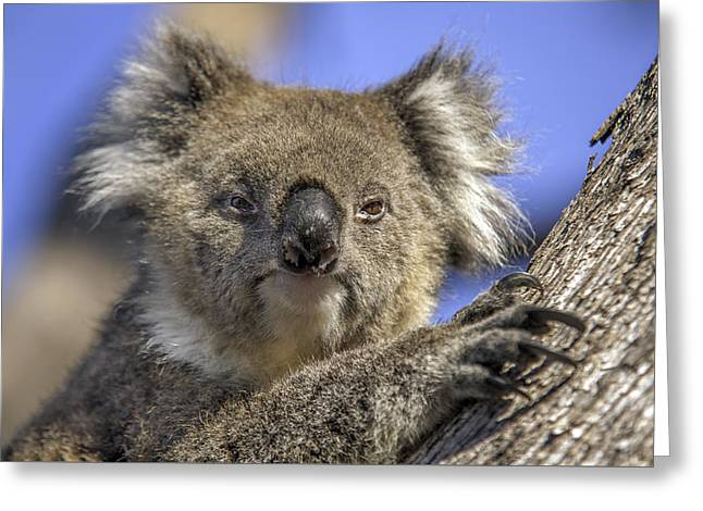 Cute Tree Images Greeting Cards - Cuddly Koala Greeting Card by Ray Warren