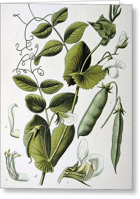 Atlas Print Greeting Cards - Culinary Pea Pisum Sativum Greeting Card by Anonymous