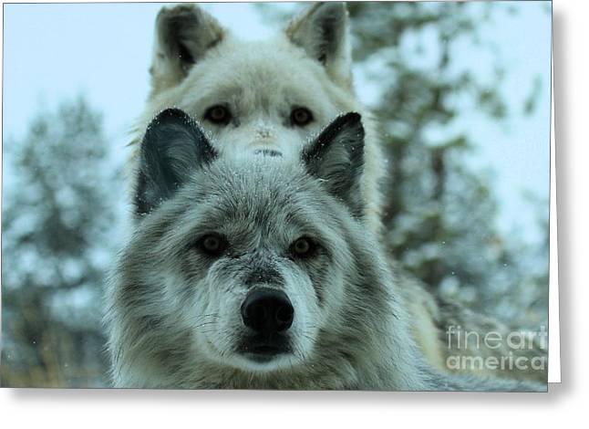Alpha Wolf Greeting Cards - Curiosity Greeting Card by Adam Jewell