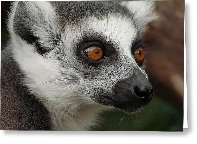 Lemur Greeting Cards - Curiosity Greeting Card by Mountain Dreams