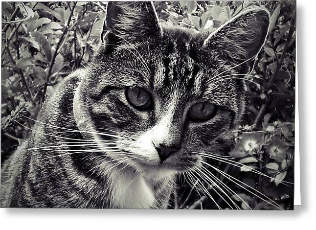 Cat Prints Photographs Greeting Cards - Curiosity Greeting Card by Sharon Lisa Clarke