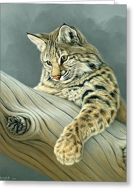 Bobcats Greeting Cards - Curiosity - young bobcat Greeting Card by Paul Krapf