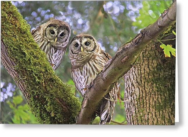 Owlets Greeting Cards - Curious Barred Owlets Greeting Card by Jennie Marie Schell