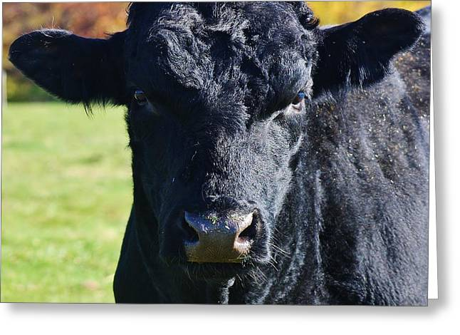Angus Steer Greeting Cards - Curious Black Angus Greeting Card by Bruce Bley