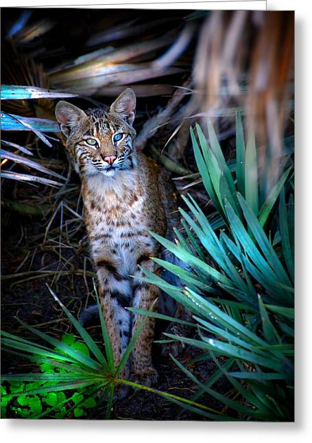 North American Bobcats Greeting Cards - Curious Bobcat Greeting Card by Mark Andrew Thomas