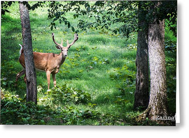 Hunting Cabin Greeting Cards - Curious Buck Greeting Card by Joshua Zaring