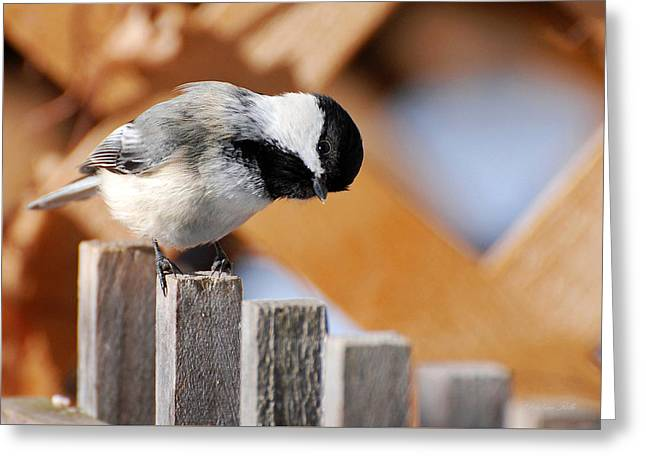 Curious Chickadee Greeting Card by Christina Rollo