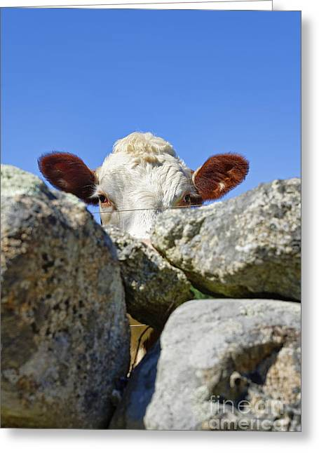 Fieldstone Greeting Cards - Curious Cow Greeting Card by John Greim
