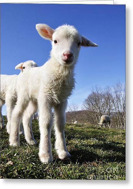 Appalachian Farm Greeting Cards - Curious day old lambs Greeting Card by Thomas R Fletcher
