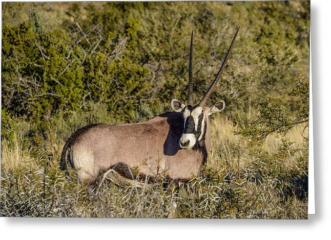 Gemsbok (oryx Gazella) Greeting Cards - Curious Gemsbok Greeting Card by Catherine Withers-Clarke