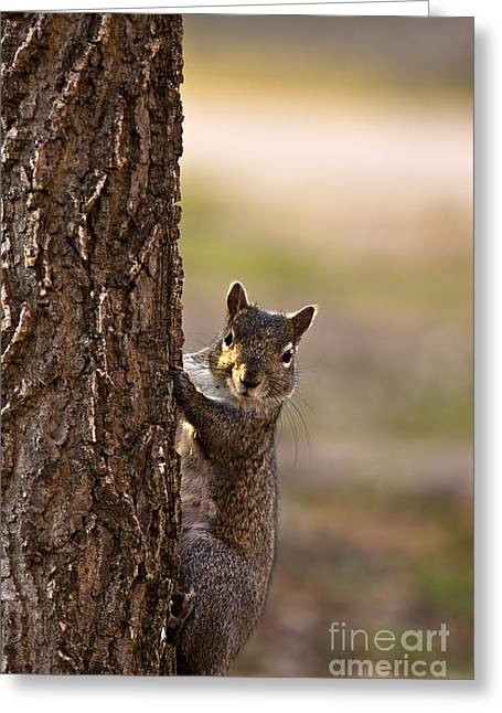 Gray Squirrel Greeting Cards - Curious Gray Squirrel Looks out From a Tree Greeting Card by Brandon Alms