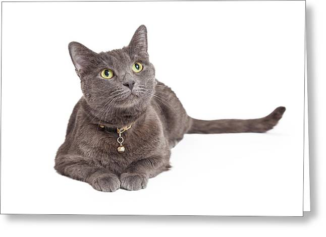 Collar Greeting Cards - Curious Grey Domestic Shorthair Cat Looking Up Greeting Card by Susan  Schmitz