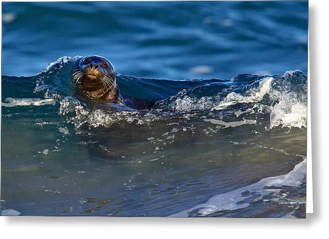 Moss Landing Harbor Greeting Cards - Curious Harbor Seal Greeting Card by Julie Chen