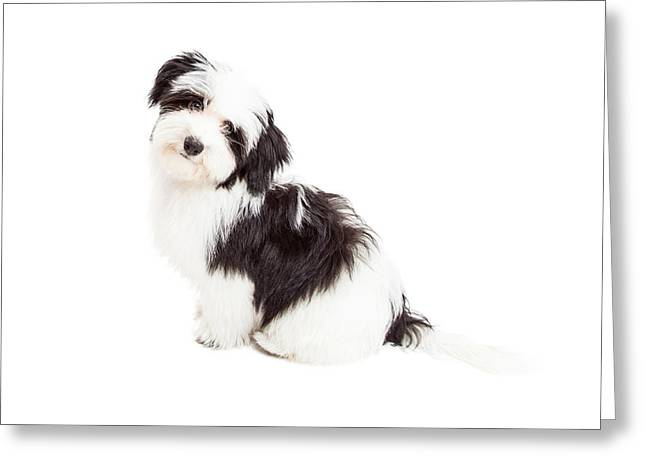 Smiling Animals Greeting Cards - Curious Havanese Dog Sitting Greeting Card by Susan  Schmitz
