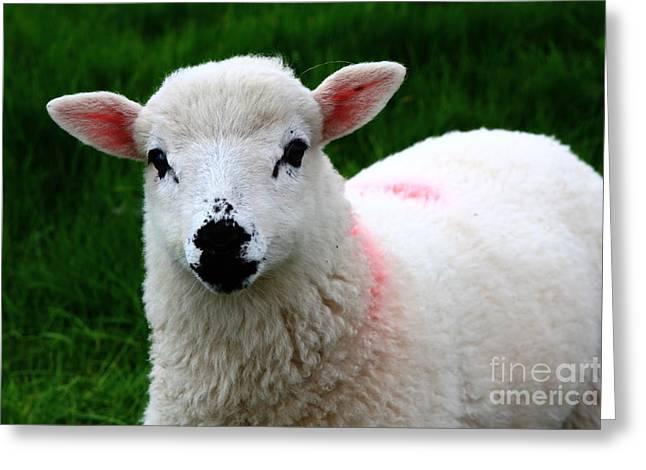 Suckle Greeting Cards - Curious Lamb Greeting Card by Aidan Moran