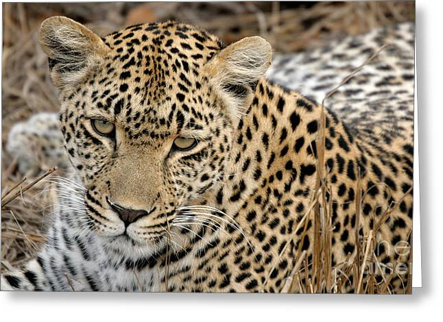 Reserve Greeting Cards - Curious Leopard Greeting Card by Juergen Schonnop