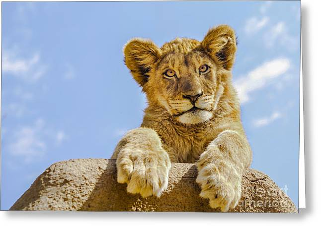 Lions Greeting Cards - Curious Lion Cub Greeting Card by Diane Diederich
