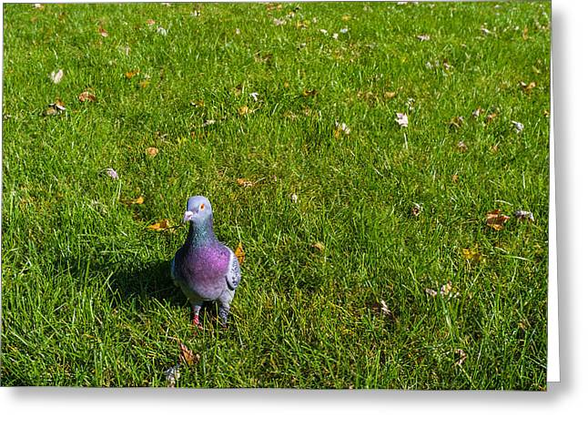Pigeon In Park Greeting Cards - Curious little fella Greeting Card by Tgchan