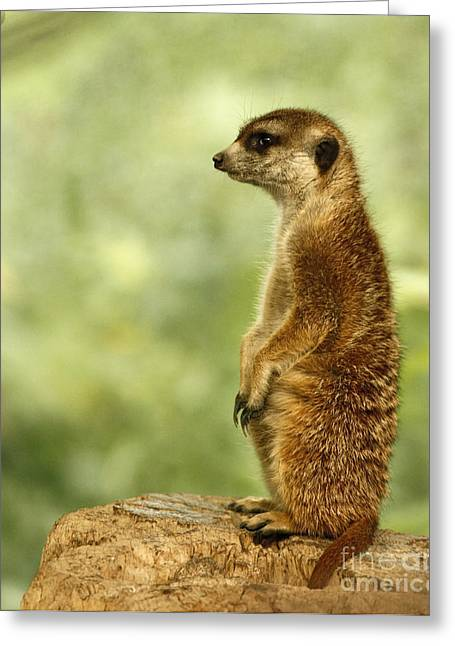 Shelley Myke Greeting Cards - Curious Meerkat Greeting Card by Inspired Nature Photography By Shelley Myke