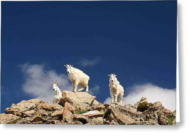 Curious Mountain Goats Greeting Card by Michael Bauer