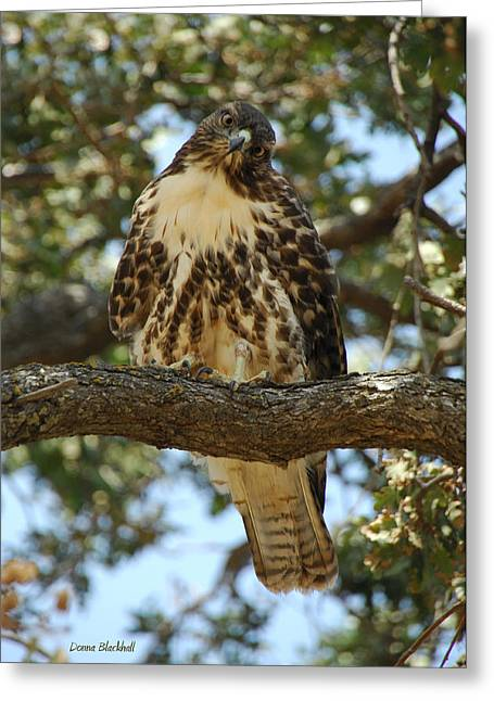 Redtail Hawks Greeting Cards - Curious Redtail Greeting Card by Donna Blackhall