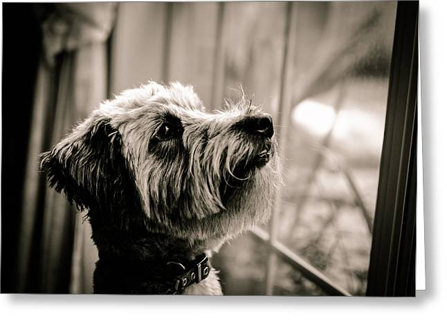 Curious Schnoodle Greeting Card by Jon Woodhams