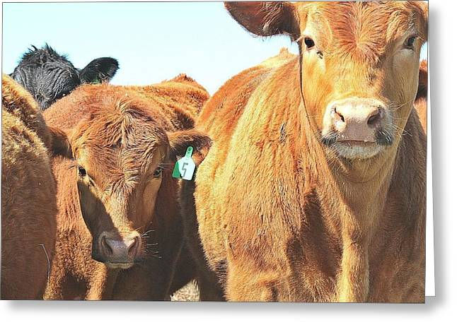 Angus Steer Photographs Greeting Cards - Curious Greeting Card by Shannon  Monson